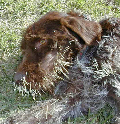 Porcupine Dog Attack Picture