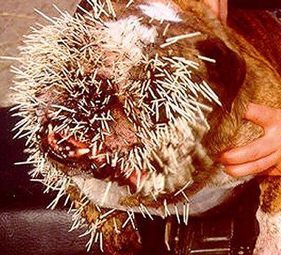 Porcupine Quills Dog